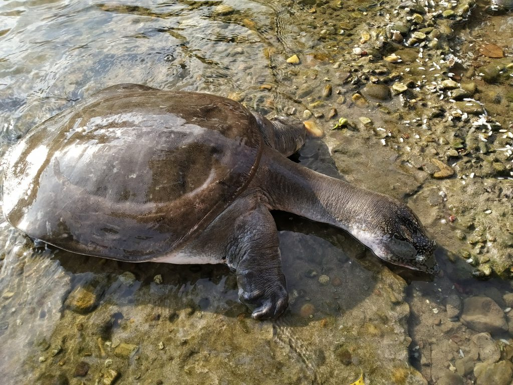 Interpretations Of Indian Softshell Turtle